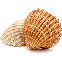 سنگ صدف shell